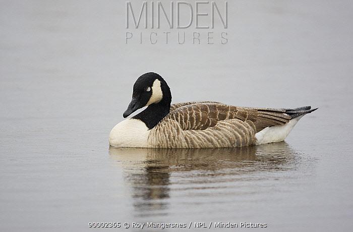 Canada Goose (Branta canadensis) sleeping in rain on a lake at Hornbogarsj�n, Hornborga Lake, Sweden  -  Roy Mangersnes/ npl