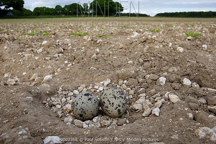 Eurasian Thick-knee (Burhinus oedicnemus) eggs in nest in field, Norfolk, United Kingdom  -  Paul Hobson/ npl