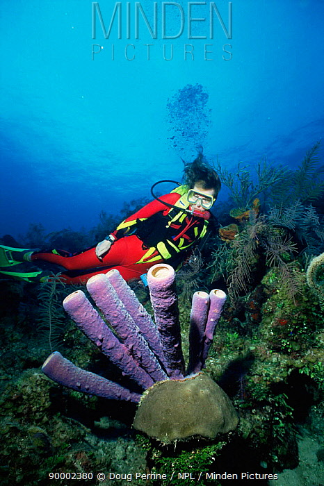 Diver looking at Purple tube sponge (Aplysina lacunosa) Bahamas, Caribbean  -  Doug Perrine/ npl