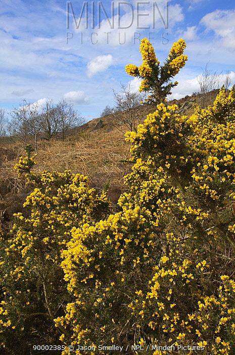 Gorse (Ulex europaeus) in flower, growing on upland heath, Lancashire, United Kingdom  -  Jason Smalley/ npl