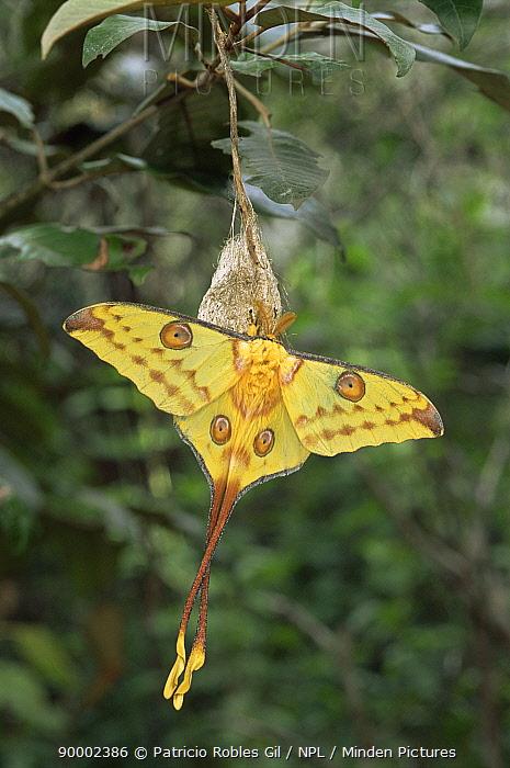 Madagascar Moon Moth (Argema mittrei) male newly emerged from coccoon, Madagascar  -  Patricio Robles Gil/ npl