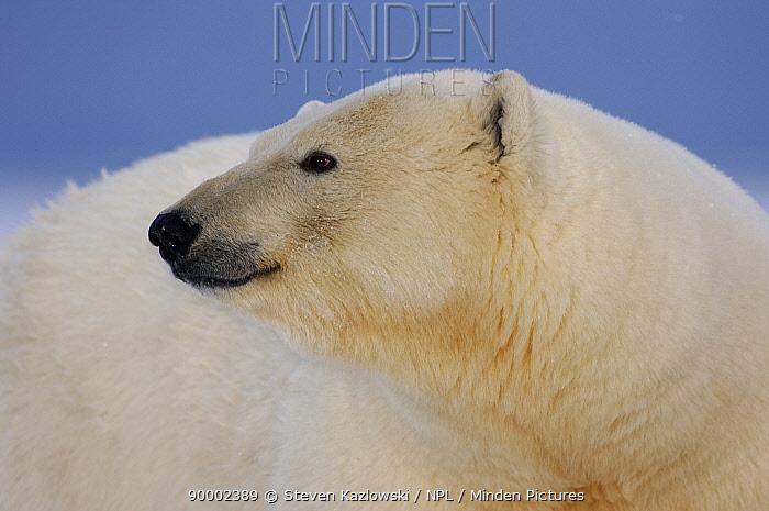 Polar Bear (Ursus maritimus) head profile, Coastal plain of the Arctic National Wildlife Refuge, Alaska  -  Steven Kazlowski/ npl