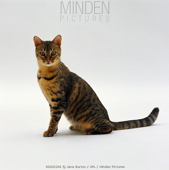 Domestic Cat (Felis catus) 5-month female Brown spotted Bengal 'Oosha'  -  Jane Burton/ npl
