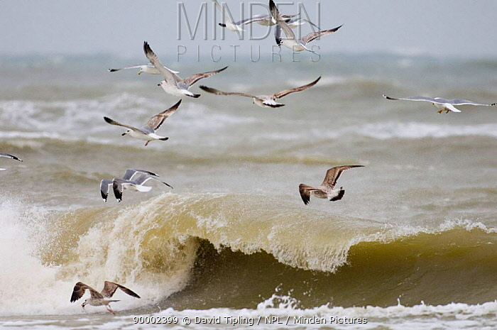 Herring Gull (Larus argentatus) flock flying over rough sea, Black Sea, Bulgaria  -  David Tipling/ npl