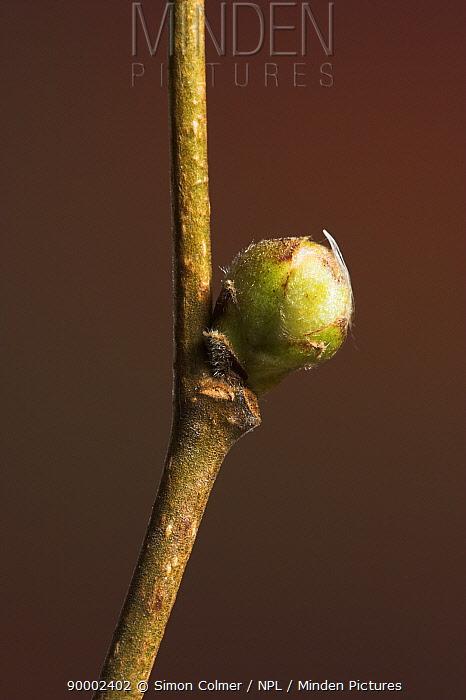 Hazelnut (Corylus avellana) bud in winter, United Kingdom  -  Simon Colmer/ npl