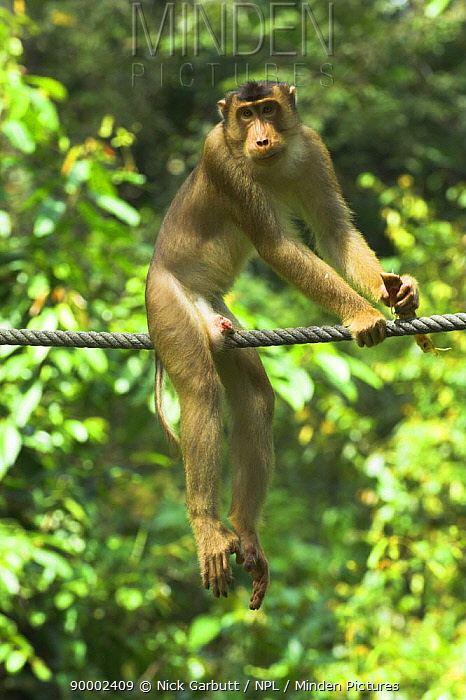 Pig-tailed Macaque (Macaca nemestrina) on purpose-built primate wire connecting isolated patches of forest Kinabatangan River, Borneo, Malaysia  -  Nick Garbutt/ npl