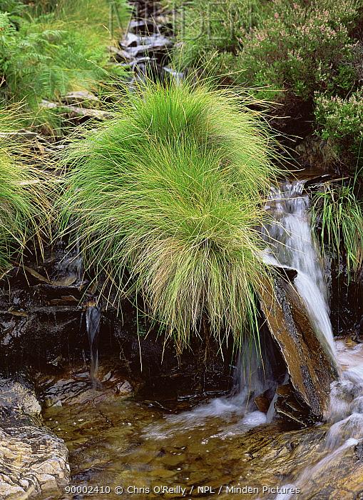 Moor Grass (Molinia caerulea) growing beside a stream in summer, sequence 1, 2, Elan valley, Wales  -  Chris O'Reilly/ npl