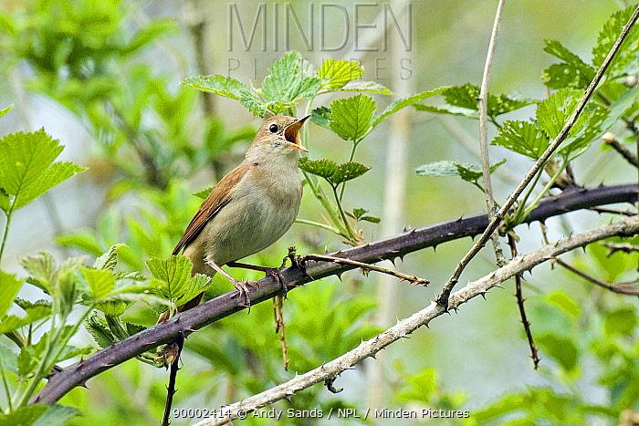 Nightingale (Luscinia megarhynchos) Male singing among brambles, Sussex, United Kingdom  -  Andy Sands/ npl