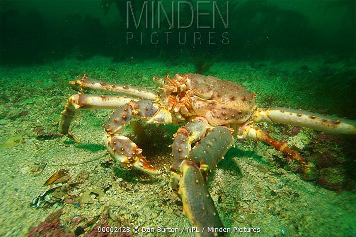 Giant red king crab (Paralithodes camtschaticus) Kirkiness, Norway  -  Dan Burton/ npl