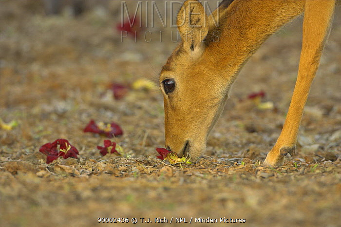 Puku (Kobus vardonii) eating fallen flowers from the Sausage tree, South Luangwa NP, Zambia  -  T.J. Rich/ npl