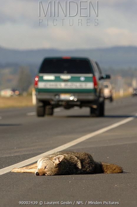 Coyote (Canis latrans) dead on a motorway near Seattle, Washington  -  Laurent Geslin/ npl