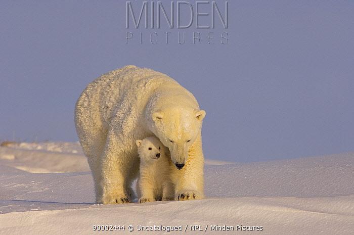 Polar Bear (Ursus maritimus) mother with cub, newly emerged from their den on the Arctic coast, eastern Arctic National Wildlife Refuge, Alaska  -  Steven Kazlowski/ npl
