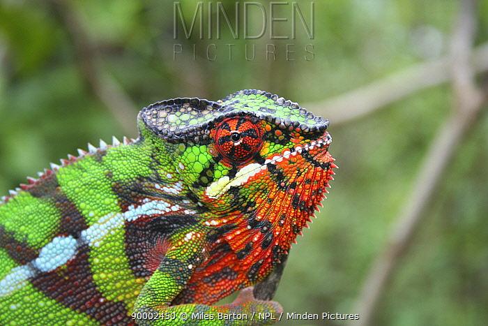 Panther Chameleon (Chamaeleo pardalis) displaying, Montagne D'Ambre, Madagascar  -  Miles Barton/ npl