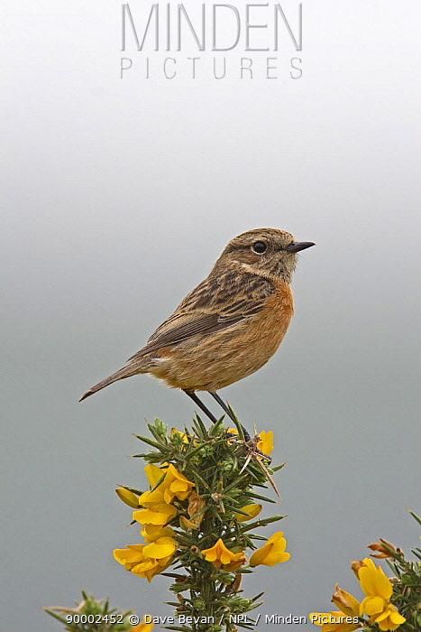 Common Stonechat (Saxicola torquata) female perched on flowering Gorse, North Wales, United Kingdom  -  Dave Bevan/ npl