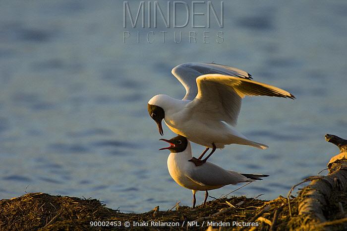 Black-headed Gull (Larus ridibundus) pair mating, Hornborgasj�n Lake, Sweden  -  Inaki Relanzon/ npl