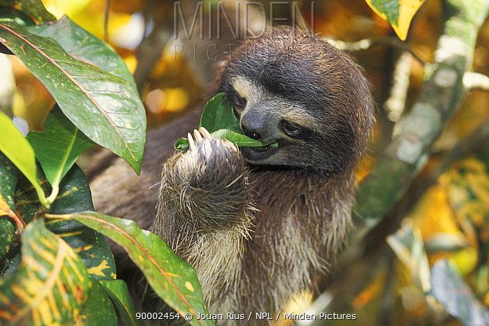 Pale-throated Three-toed Sloth (Bradypus tridactylus) eating leaf, rainforest habitat, Costa Rica  -  Jouan & Rius/ npl