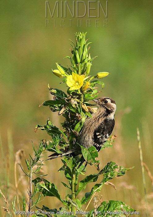 Lesser Spotted Woodpecker (Dendrocopos minor) feeding in Evening primrose flower, Poland  -  Hanne & Jens Eriksen/ npl