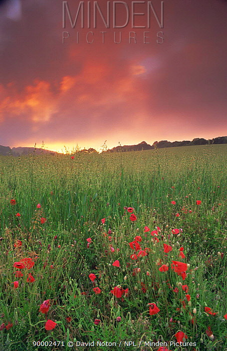 Red Poppy (Papaver rhoeas) field near Milton Abbas, England, with pink clouds at sunset  -  David Noton/ npl