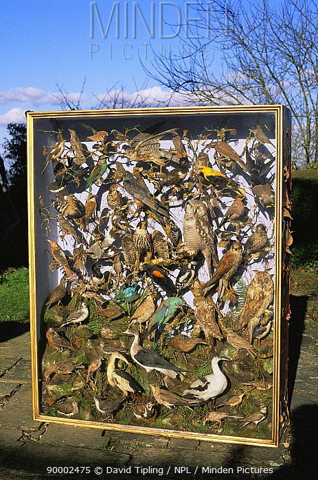Victorian collection of stuffed birds from Earlham, Norfolk, UK  -  David Tipling/ npl