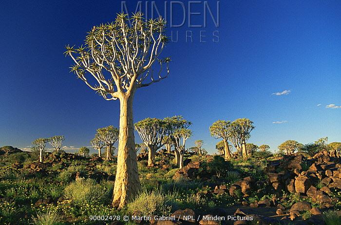 Quiver Tree (Aloe dichotoma), Quiver Tree Forest Keetmanshoop, Namibia  -  Martin Gabriel/ npl