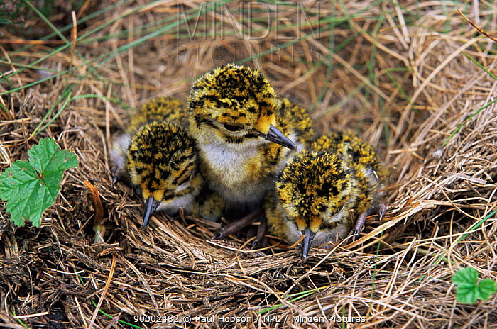 Golden Plover (Pluvialis apricaria) chicks in nest Derbyshire, United Kingdom  -  Paul Hobson/ npl