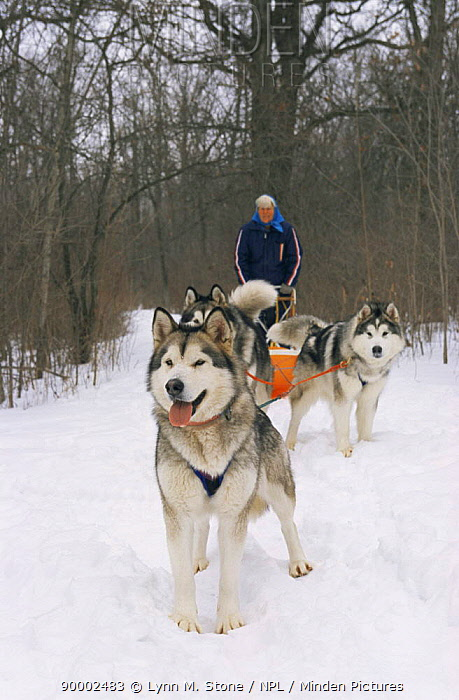 Alaskan malamute dogs pulling sledge (Canis familiaris) USA  -  Lynn M. Stone/ npl