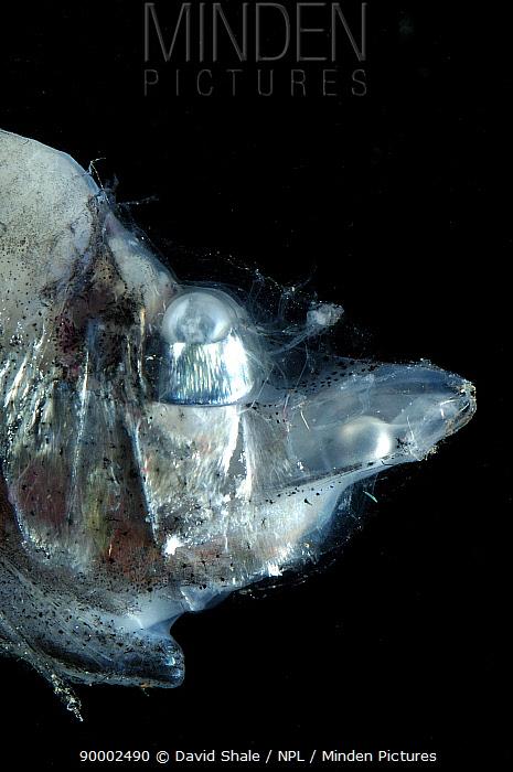 Deepsea fish (Opisthoproctus sp) producing ventral bioluminescence, deep sea Atlantic ocean  -  David Shale/ npl