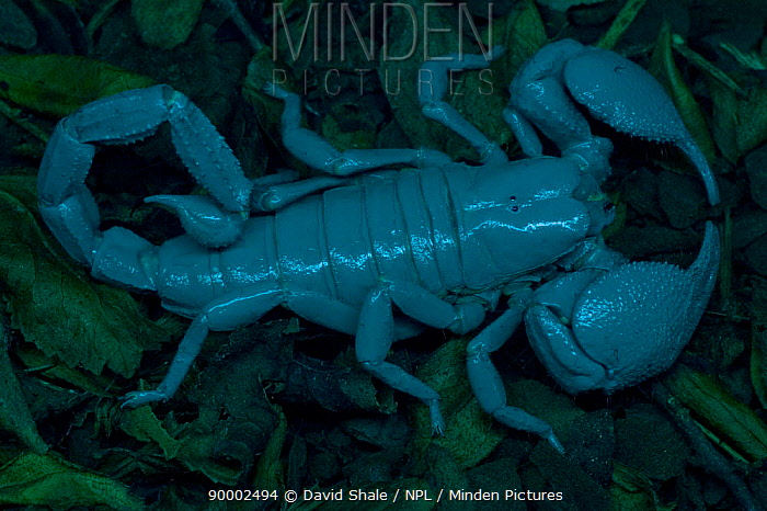 Emperor Scorpion (Pandinus imperator) the world's largest scorpion, seen under UV light with ocelli clearly visible  -  David Shale/ npl