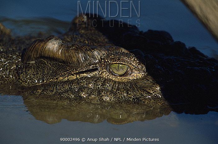 Nile Crocodile (Crocodylus niloticus) eye Mara River, Maasai Mara NR, Kenya  -  Anup Shah/ npl