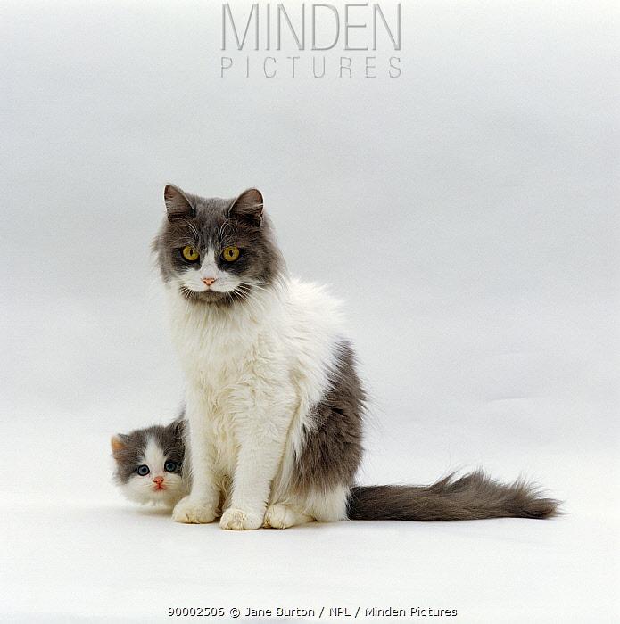 Domestic Cat (Felis catus) Blue bicolour persian-cross mother 'Nancy' with kitten  -  Jane Burton/ npl