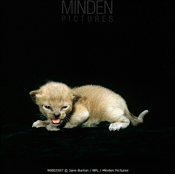 Domestic Cat (Felis catus) 2-week, Burmese kitten Sequence 2, 4  -  Jane Burton/ npl