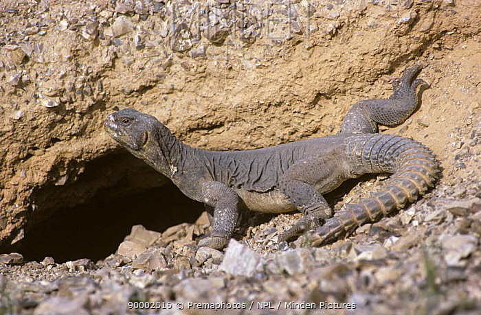 Egyptian spiny lizard (Uromastix aegypticus) basking next to its hole in desert, Israel  -  Premaphotos/ npl