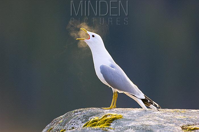 Mew Gull (Larus canus) vocalising, morning,, Tr�nelag, Norway  -  Niall Benvie/ npl