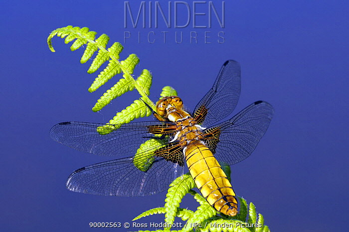 Broad-bodied Chaser (Libellula depressa) on fern, clearly showing veins in wings Cornwall, United Kingdom  -  Ross Hoddinott/ npl