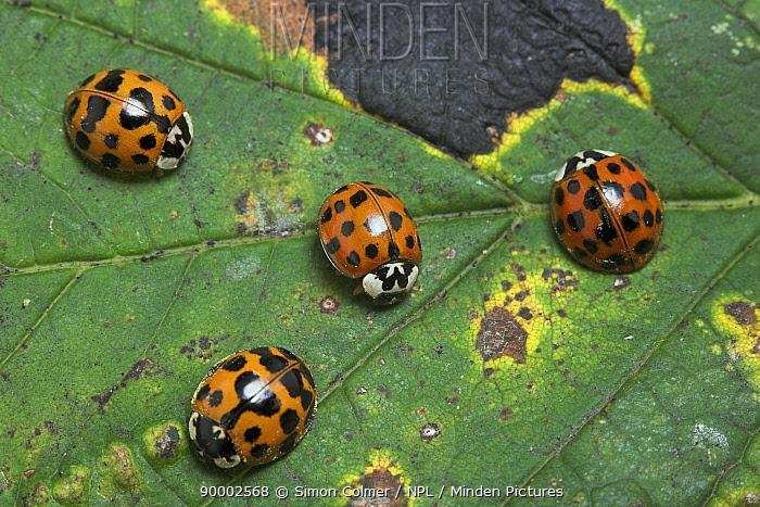 Asian Ladybird Beetle (Harmonia axyridis), United Kingdom  -  Simon Colmer/ npl