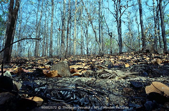 Long tailed nightjar (Caprimulgus macrurus) camouflaged on burnt ground Huai Kha Khaeng WS Thailand  -  Thoswan Devakul/ npl