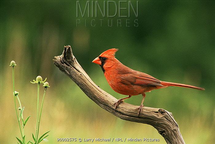 Northern Cardinal (Cardinalis cardinalis) male Wisconsin  -  Larry Michael/ npl