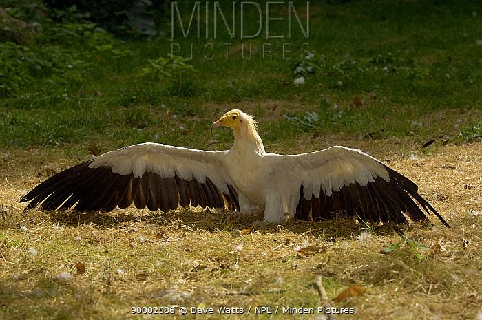 Egyptian Vulture (Neophron percnopterus) sunbathing, France  -  Dave Watts/ npl