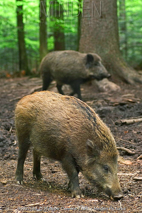 Wild Boar (Sus scrofa) sniffing for food in forest, Bavarian Forest, Germany  -  Philippe Clement/ npl