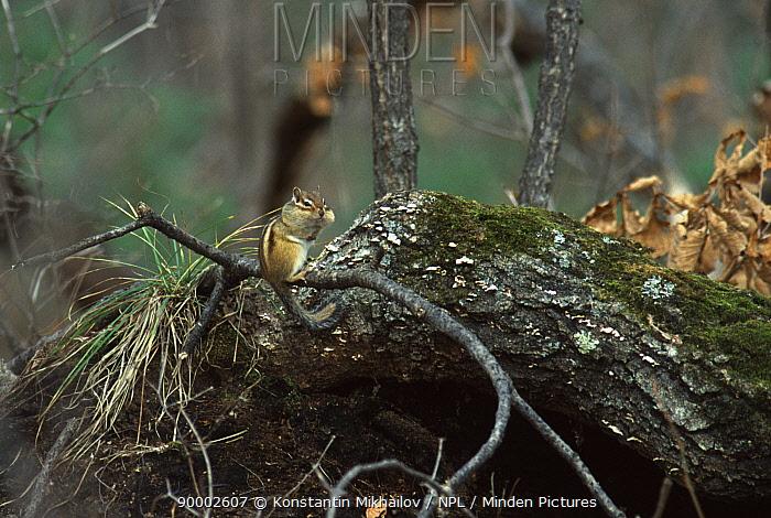 Siberian chipmunk (Eutamias sibiricus) Siberia, Russia  -  Konstantin Mikhailov/ npl