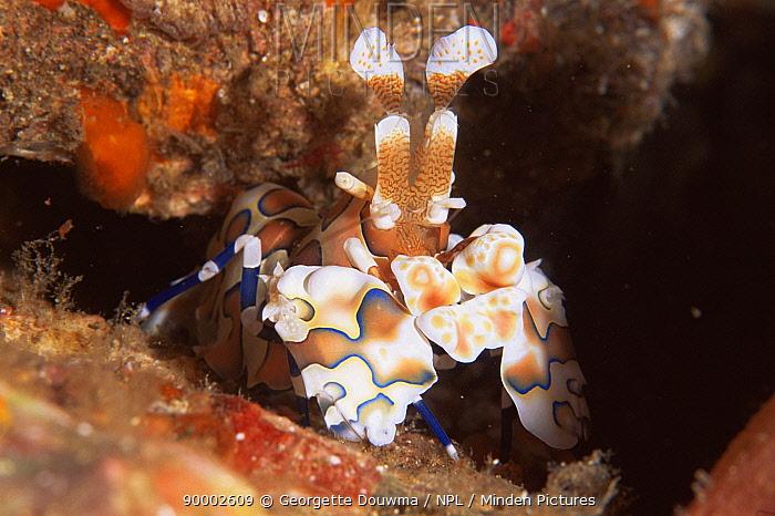 Harlequin shrimp (Hymenocera picta) emerging from rocks, Andaman Sea, Thailand  -  Georgette Douwma/ npl