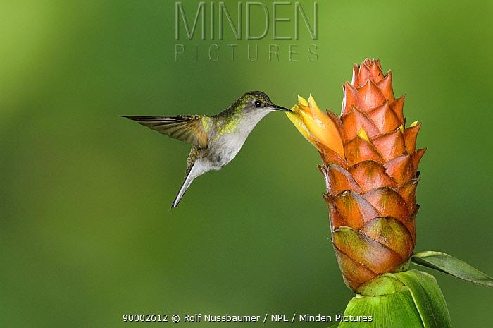 Black-bellied Hummingbird (Eupherusa nigriventris)female in flight feeding on Spiral Ginger (Costus Pulverulentus) Central Valley, Costa Rica  -  Rolf Nussbaumer/ npl