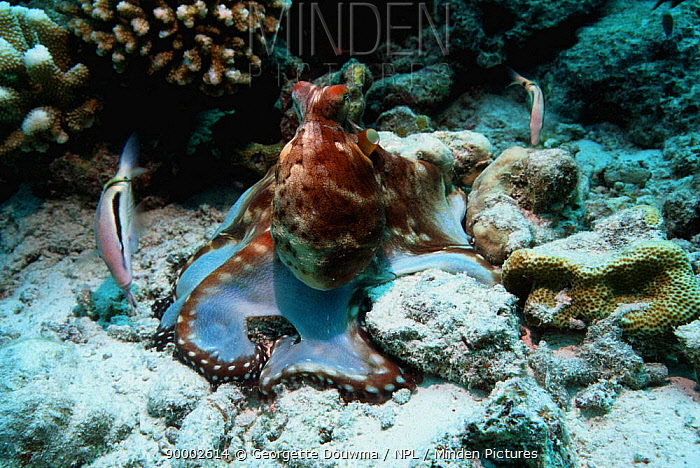 Common reef, Day octopus (Octopus cyanea) hunting over coral bed accompanied by watchful fish Andaman Sea, Thailand  -  Georgette Douwma/ npl