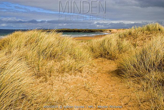 European Beachgrass (Ammophila arenaria) on sand dunes, Doogort beach, Achill Island, County o, Ireland  -  Adrian Davies/ npl