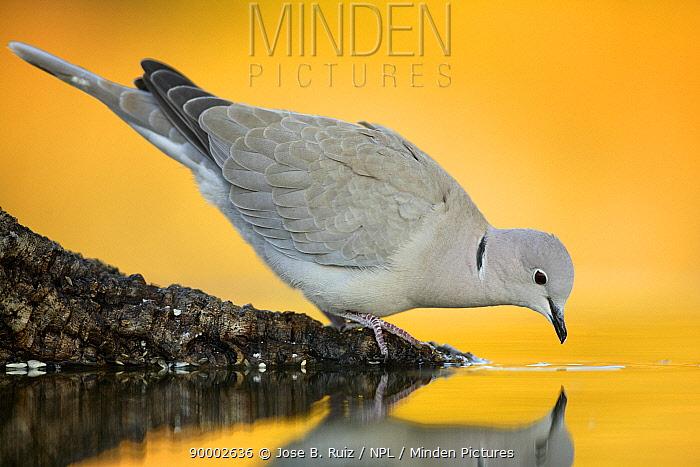 Eurasian Collared-Dove (Streptopelia decaocto) drinking, Spain  -  Jose B. Ruiz/ npl
