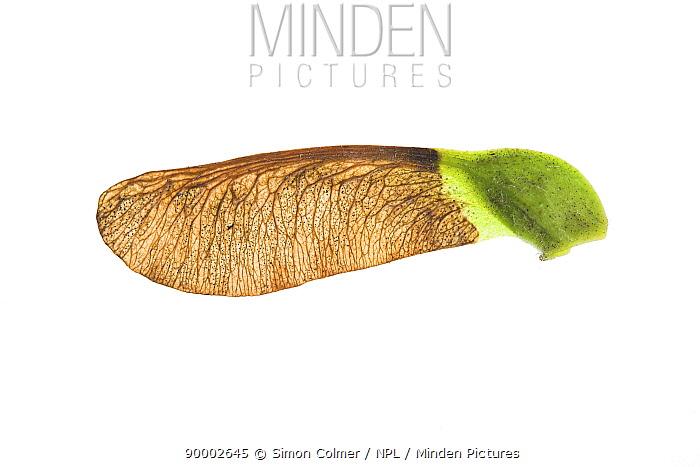 Sycamore (Acer pseudoplatanus), winged seed, United Kingdom  -  Simon Colmer/ npl