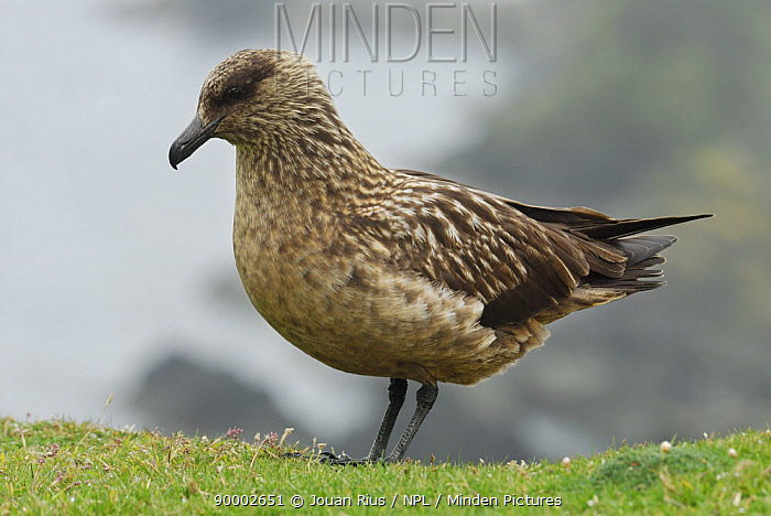 Great Skua (Catharacta skua), Shetland Islands, Scotland United Kingdom  -  Jouan & Rius/ npl