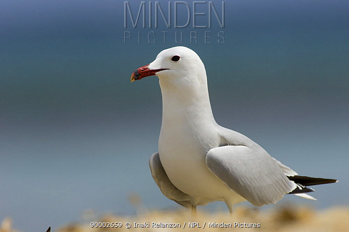 Audouin's Gull (Larus audouinii), Menorca, Balearic Islands, Spain  -  Inaki Relanzon/ npl
