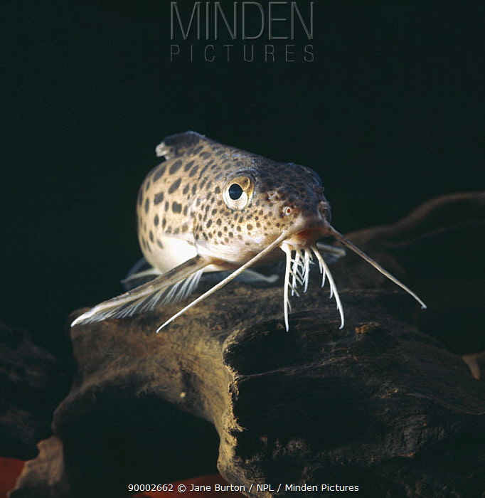 Naked catfish (Synodontis sp) head portrait showing barbels, captive, from Africa  -  Jane Burton/ npl