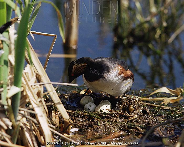 Eared Grebe (Podiceps nigricollis) tending eggs at nest Sweden  -  Bengt Lundberg/ npl